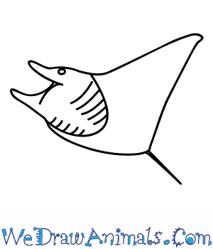 How to Draw a Manta Ray in 6 Easy Steps