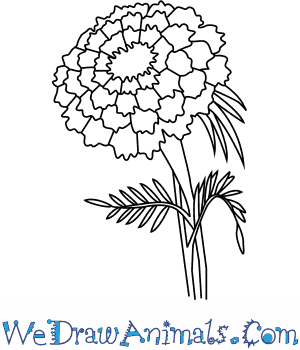 How to Draw a Marigold Flower in 4 Easy Steps