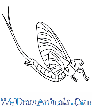 How to Draw a Mayfly in 9 Easy Steps