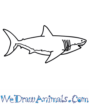 How to Draw a Megalodon Shark in 8 Easy Steps