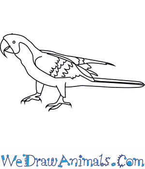 How to Draw a Military Macaw in 7 Easy Steps