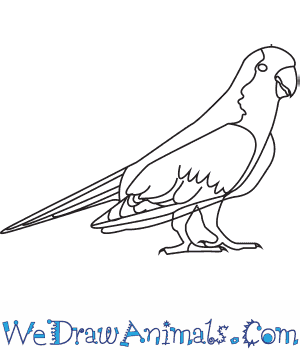 How to Draw a Monk Parakeet in 8 Easy Steps