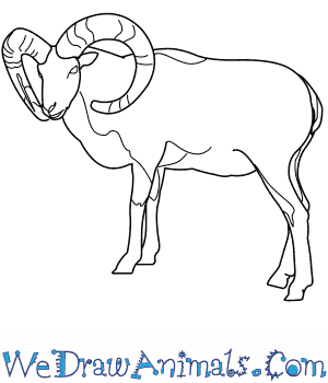 How to Draw a Mouflon in 9 Easy Steps