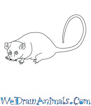 How to Draw a Mountain Pygmy Possum in 6 Easy Steps