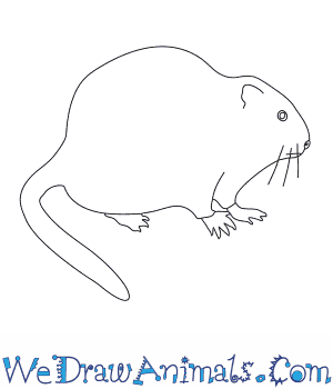 How to Draw a Muskrat in 7 Easy Steps