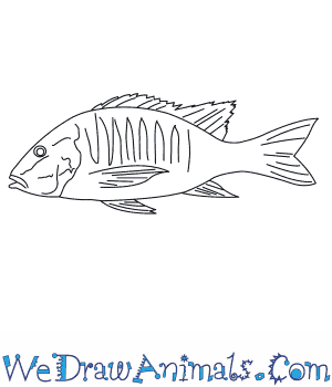 How to Draw a Mutton Snapper in 7 Easy Steps