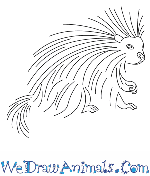 How to Draw a North American Porcupine in 6 Easy Steps
