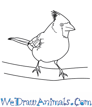How to Draw a Northern Cardinal in 9 Easy Steps
