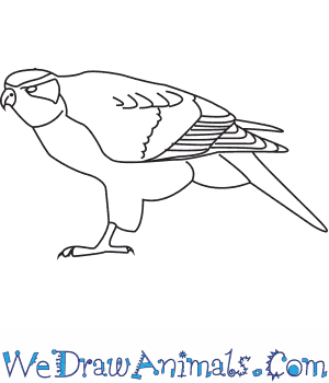 How to Draw a Northern Goshawk in 7 Easy Steps