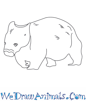 How to Draw a Northern Hairy Nosed Wombat in 6 Easy Steps
