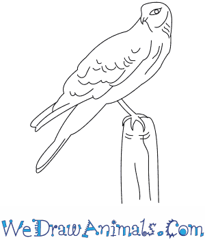 How to Draw a Northern Harrier in 8 Easy Steps