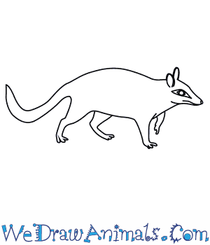 How to Draw a Numbat in 8 Easy Steps