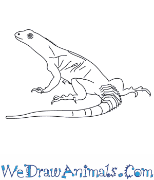 How to Draw an Oaxacan Spiny Tailed Iguana in 6 Easy Steps