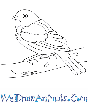 How to Draw a Painted Bunting in 7 Easy Steps