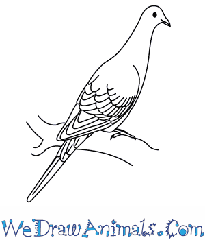 How to Draw a Passenger Pigeon in 8 Easy Steps