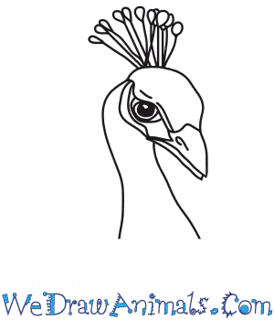 How to Draw a Peacock Head in 6 Easy Steps