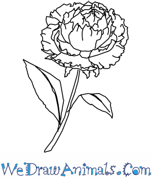 How to Draw a Peony Flower in 4 Easy Steps