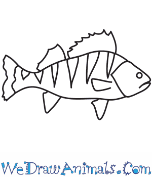 How to Draw a Perch in 7 Easy Steps