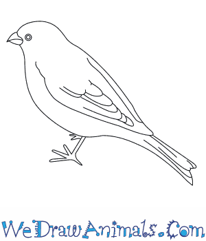 How to Draw a Pine Grosbeak in 6 Easy Steps