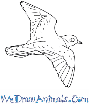 How to Draw a Piping Plover in 7 Easy Steps