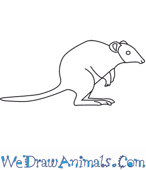 How to Draw a Potoroo in 6 Easy Steps