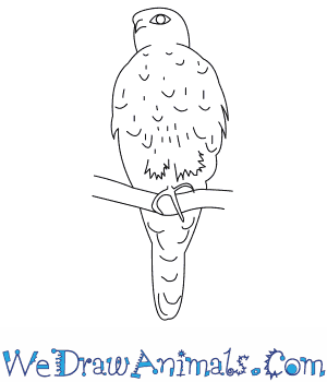 How to Draw a Prairie Falcon in 7 Easy Steps