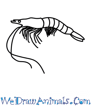 How to Draw a Prawn in 6 Easy Steps