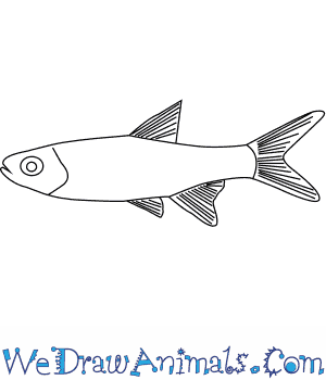 How to Draw a Rasbora in 5 Easy Steps