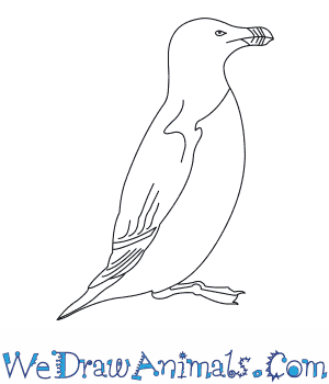 How to Draw a Razorbill in 6 Easy Steps