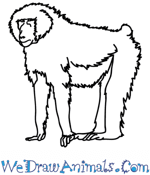 How to Draw a Realistic Baboon in 6 Easy Steps