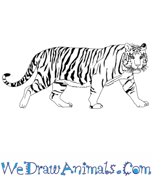 How to Draw a Realistic Bengal Tiger in 9 Easy Steps