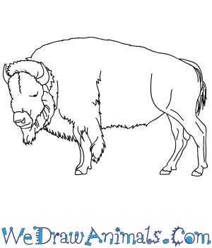 How to Draw a Realistic Bison in 9 Easy Steps