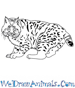 How to Draw a Realistic Bobcat in 8 Easy Steps