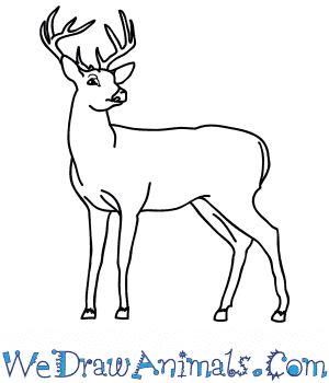 How to Draw a Realistic Buck Deer in 8 Easy Steps