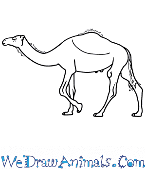 How to Draw a Realistic Camel in 8 Easy Steps