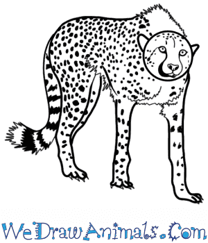 How to Draw a Realistic Cheetah in 8 Easy Steps