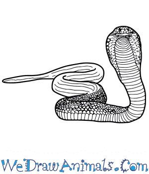 How to Draw a Realistic Cobra in 8 Easy Steps