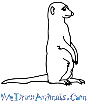 How to Draw a Realistic Meerkat in 6 Easy Steps