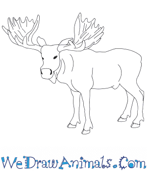 How to Draw a Realistic Moose in 8 Easy Steps