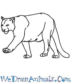 How To Draw A Realistic Mountain Lion