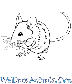 How to Draw a Realistic Mouse in 9 Easy Steps