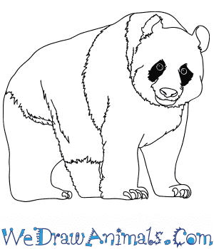 How to Draw a Realistic Panda in 9 Easy Steps