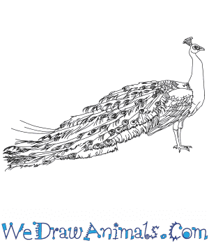 How To Draw A Realistic Peacock