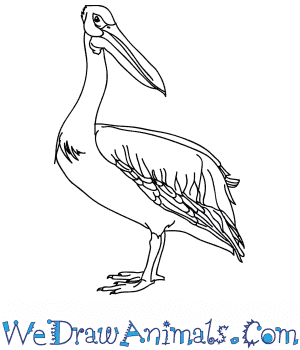 How to Draw a Realistic Pelican in 6 Easy Steps