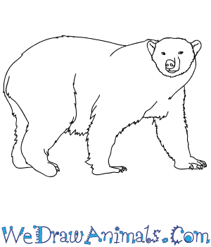 How to Draw a Realistic Polar Bear in 7 Easy Steps