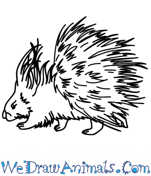 How to Draw a Realistic Porcupine in 5 Easy Steps