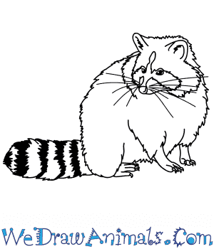 How to Draw a Realistic Raccoon in 8 Easy Steps