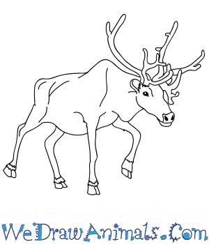 How to Draw a Realistic Reindeer in 8 Easy Steps
