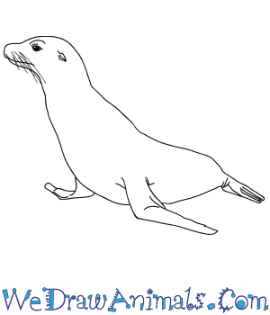 How to Draw a Realistic Seal in 8 Easy Steps