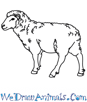 How to Draw a Realistic Sheep in 7 Easy Steps